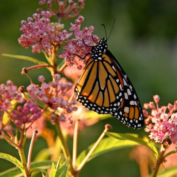 "Recap of May 21 presentation, ""All About Monarchs"""